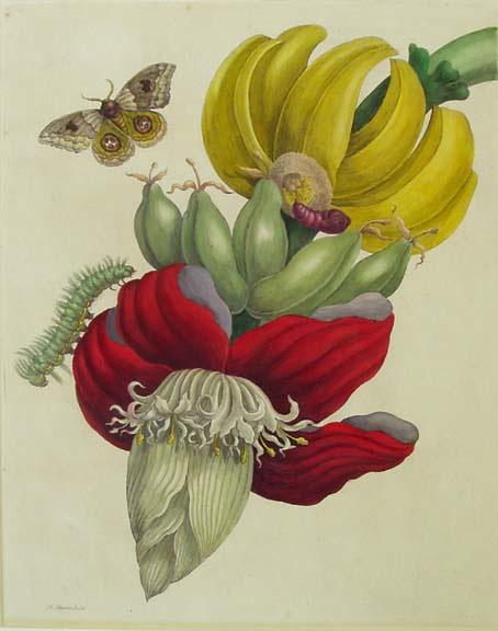 Maria Sibylla Merian, Tak van een bananenboom met rupsen en motten, Metamorphosis, 1705